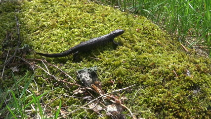 Great Crested Newt (Triturus cristatus) on moss in spring