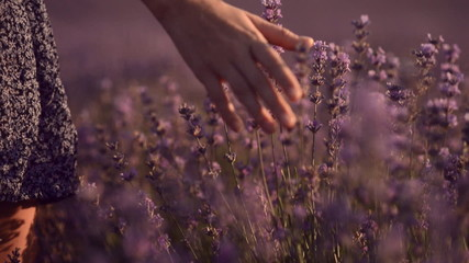 Close up of girl's hand that touches blossoming lavender. Slow
