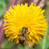 Bee gather honey at dandelion poster