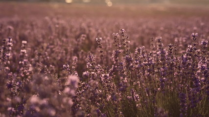 Blooming lilac lavender field