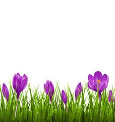 Green grass lawn with violet crocuses isolated on white. Floral