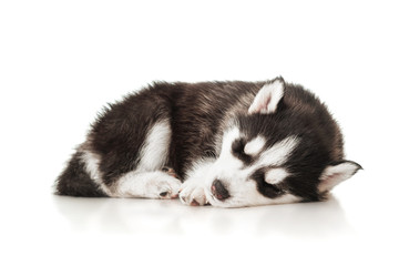 Sleeping husky puppy