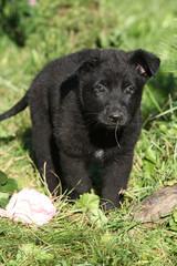 Adorable german shepherd puppy in the garden