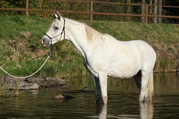 Amazing arabian horse in water