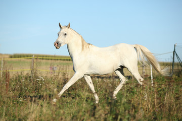 Amazing arabian stallion running