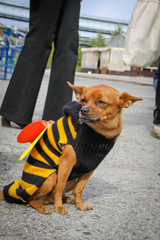 dog in costume of bee