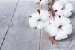Cotton plant bud - 77613166