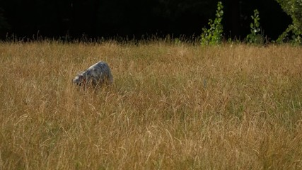 Young English Setter is playing with a ball on a field in summer