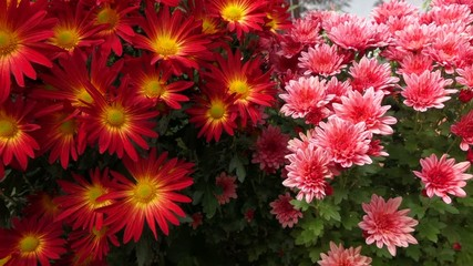Pan of two beautiful Chrysanthemum flower bushes - XAVC-S 60fps