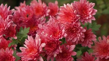 Close-up pan of pink Chrysanthemum flowers - XAVC-S 60fps