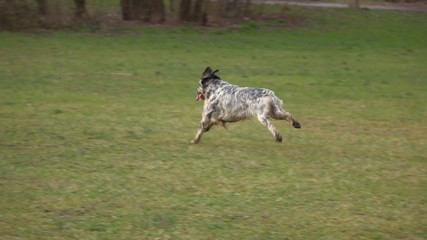 Young English Setter dog is running cross on a meadow