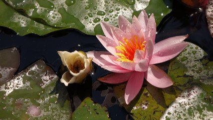 Close-up of a pink water lily flower in a small pond
