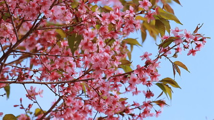 Branch of pink sakura blossoms at Phu Lom Lo mountain, Thailand