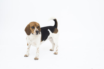 Tricolor beagle dog isolated on white