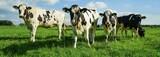Rindviehzucht, Holstein-Friesian Rinder auf der Weide
