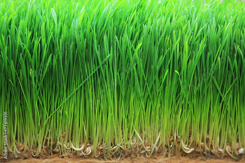 sprouted barley - 77619301