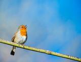 Fototapeta cute little robin bird singing on a tree branch