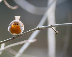 small cute robin bird perched on tree twig