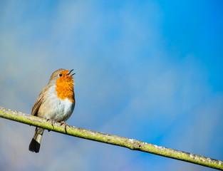 cute little robin bird singing on a tree branch