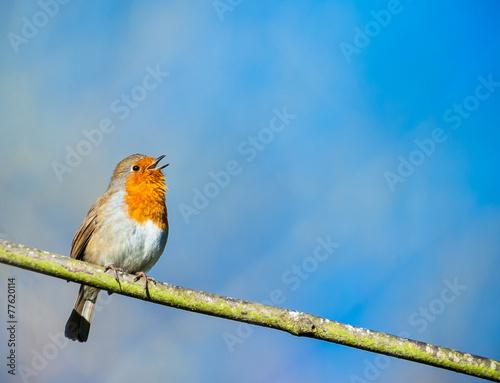 Foto op Aluminium Vogel cute little robin bird singing on a tree branch