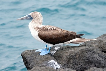 Blue-footed booby North Seymour Island, Galapagos Islands