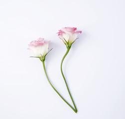 Pink rosebuds.