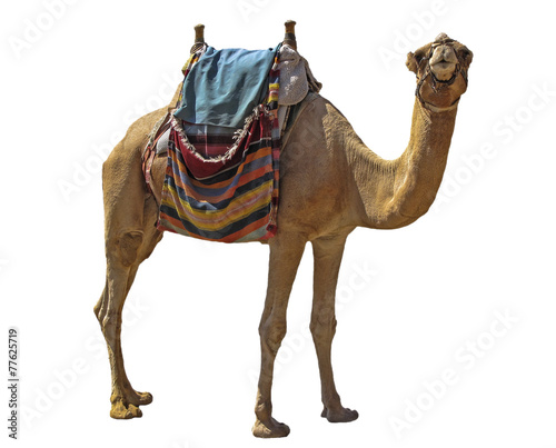 Tuinposter Kameel camel