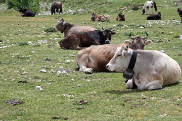 Cows - Molise