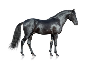 Black horse standing on white background, isolated.