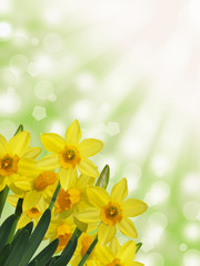yellow daffodils with sunny abstract bokeh background