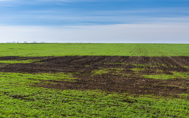 Early spring landscape with winter crop field in Ukraine