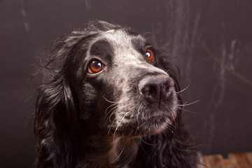 Attractive, cute dog, spaniel