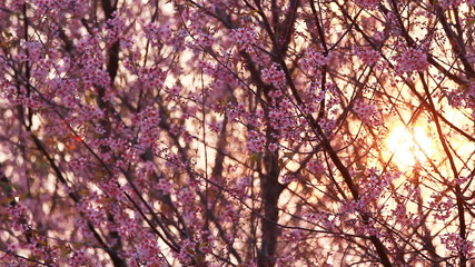 Sunset with branch of pink sakura blossoms
