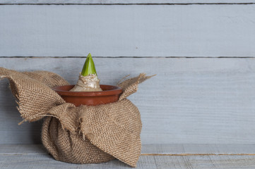 Hyacinth flower bulb in a pot on wooden background