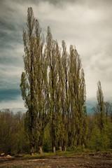 Spring landscape with poplars