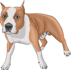 vector american staffordshire terrier