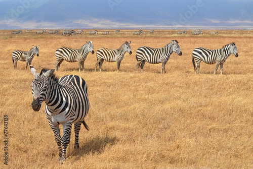 Canvas Zebra Herd of Zebras