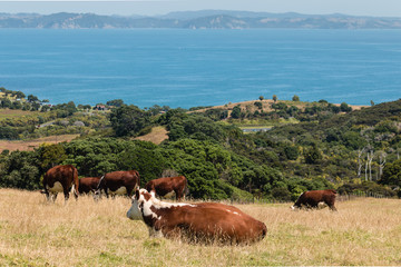 cows grazing on paddock in New Zealand