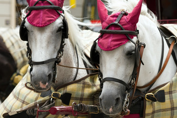 The heads of two horses for city walks in Vienna, Austria
