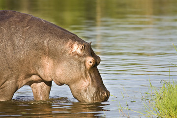 wild hippo eating grass along the river, Kruger
