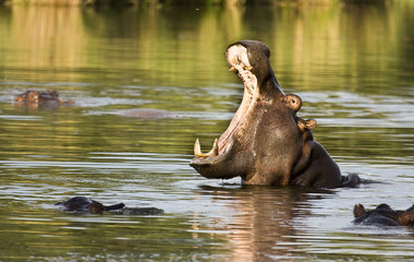wild hippo yawning in the river, Kruger, South Africa