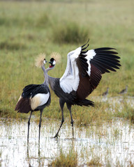 Courting Crowned Cranes.