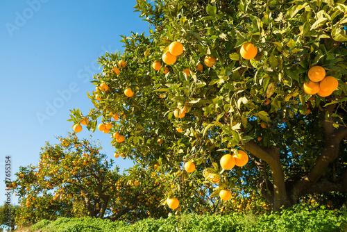 Orange field - 77655354
