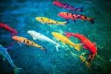 Fototapety Colorful Koi Fishes