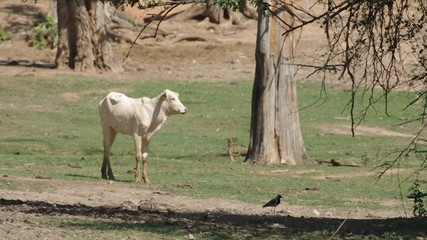 Footage of calf standing alone in the arid grassland