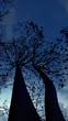 silhouette treesbranch on bluesky