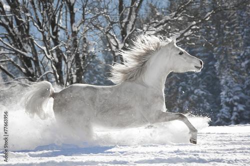 Tuinposter Paarden Araber im Schnee