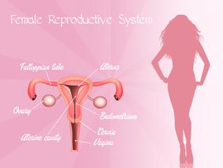 illustration of female genitals