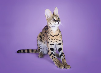 serval kitten playing in the studio on a colored background isol