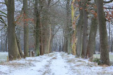 Lane of trees on a cold moring in winter.